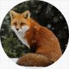 Fox / Лис