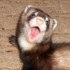 Хорьки / Ferrets