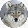 Волки / Wolves